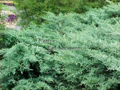 Grey Owl - Juniperus virginiana 5 gallon