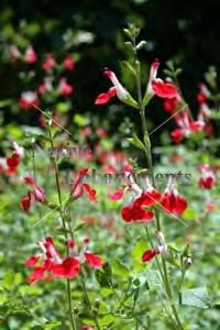 "Little Leaf Sage ""Hot Lips"" - Salvia microphylla 1 gallon"