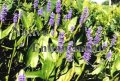 Purple Pickerel Weed - Pontederia cordata 1 gallon