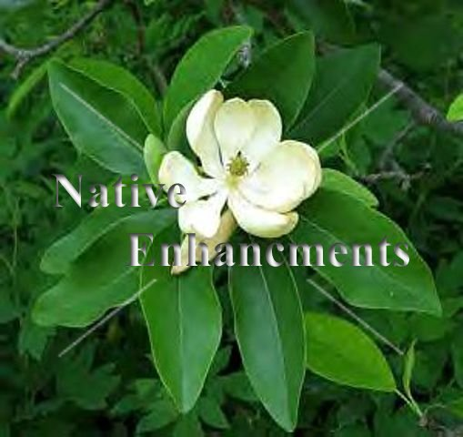 Sweetbay Magnolia - Magnolia virginiana 5 gallon - Click Image to Close
