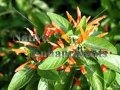 Mexican Honeysuckle – Justicia spicigera 1 gallon