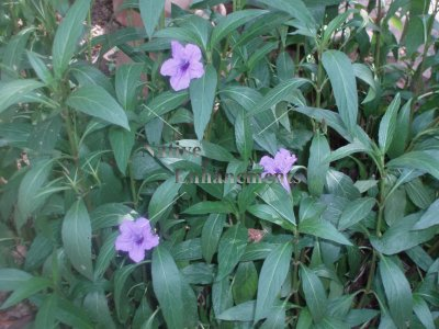 Soft Seeded Wild Petunia - Ruellia malacosperma 1 gallon