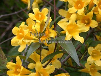 Carolina Jessamine - Gelsemium sempervirens 1 gallon