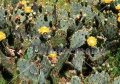 Texas Prickly Pear - Opuntia lindheimeri 5 gallon