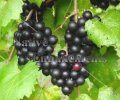 Muscadine Grape - Vitis rotundifolia 5 gallon