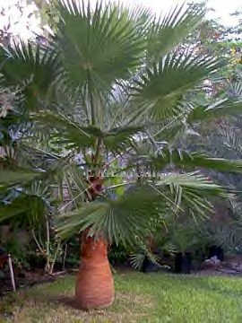 Mexican Fan Palm - Washingtonia robusta 15 gallon