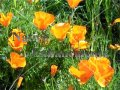 California Poppy - Eschscholzia califonica 4 inch