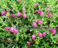 Pink Skullcap - Scutellaria suffrutescens 1 gallon