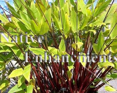 Red Stemmed Thalia – Thalia geniculata 5 gallon - Click Image to Close