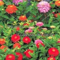 Youth and Old Age - Zinnia elegans