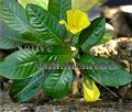 Floating Primrose - Ludwigia peploides / Bare Root Bundle