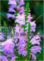 Fall Obedient Plant - Physostegia virginiana 1 gallon