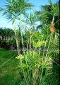 Reed Palm - Chamaedorea seitfrizii 5 gallon