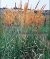 Indiangrass - Sorghastrum nutans 1 gallon