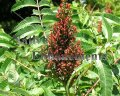 Smooth Sumac - Rhus glabra 5 gallon