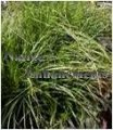 Cherokee Sedge - Carex cherokeensis 1 gallon