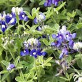 Bluebonnet - Lupinus texensis 4 inch