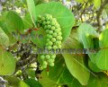 Sea Grape - Coccoloba uvifera 5 gallon