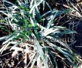 Blue Wood Sedge - Carex flaccosperma 1 gallon