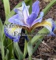 Blue Flag Iris - Iris virginica 5 gallon